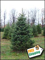 Fresh Blue Spruce Christmas Tree