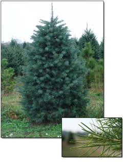 Canaan Fir Christmas Trees | Christmas Farms
