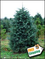 Fresh Concolor Fir Christmas Tree