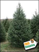 Fresh Douglas Fir Christmas Tree