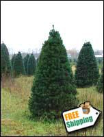Fresh Christmas Trees Christmas Farms