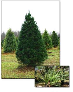 Fresh white pine christmas trees christmas farms