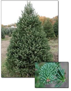 calvin byrom: White Spruce White Spruce