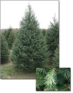 Douglas Fir Christmas Tree.Douglas Fir Christmas Trees Christmas Farms
